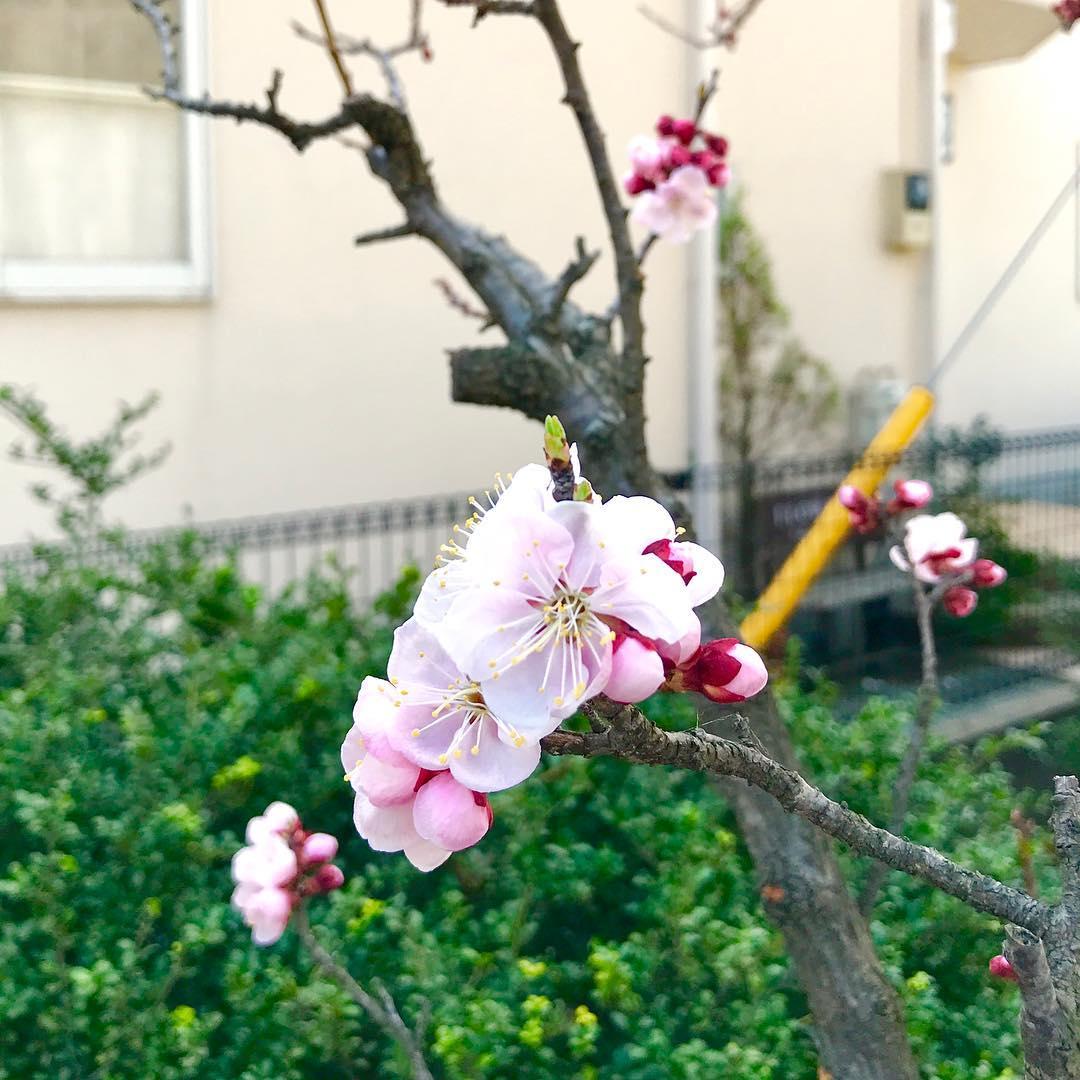 杏の花(2018.03.14)