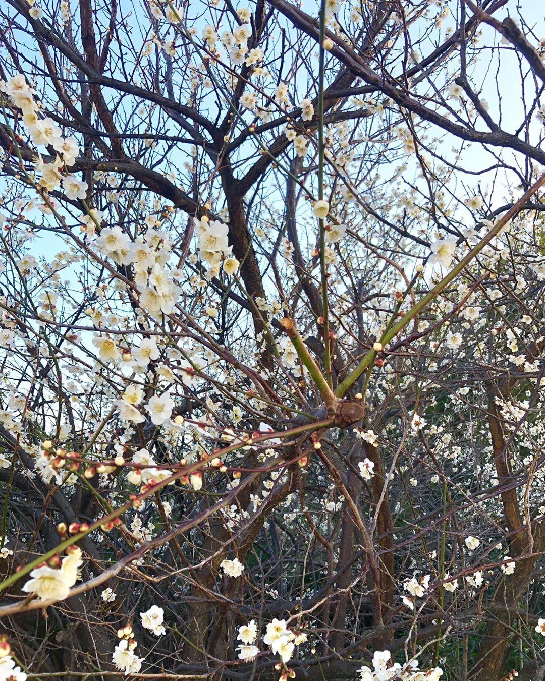 丘パンの梅がそろそろ満開です(2020.02.19)