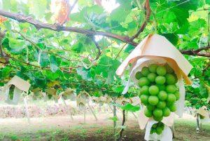 山梨の萩原農園さんから、今年もシャインマスカットを取り寄せさせて頂きました(2020.08.20)