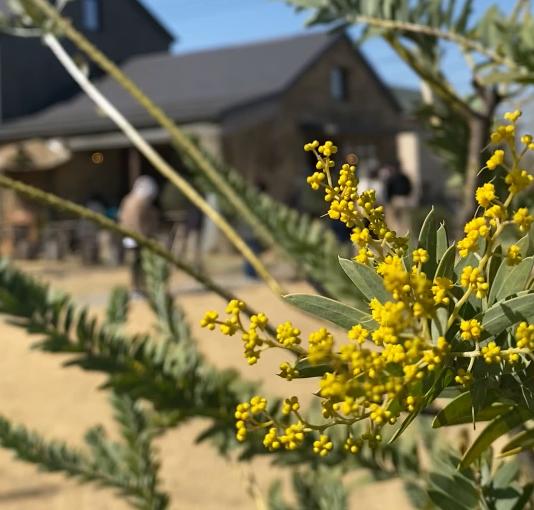 アカシアがこの2年で大きくなり花が咲きました(2021.03.10)